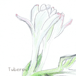 Tuberos